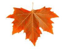 Oranje esdoornblad. Stock Afbeeldingen