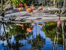 Oranje Flamingo's die rond dansen stock foto's