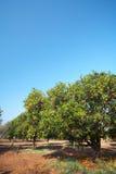 Oranje fruitboomgaard stock afbeeldingen