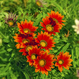 Oranje Gazanias Stock Foto