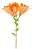 Oranje geïsoleerdeo lelie Stock Afbeeldingen