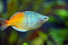 Oranje Geïsoleerdev Vissen royalty-vrije stock fotografie