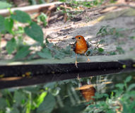 Oranje-geleide Lijster Royalty-vrije Stock Fotografie