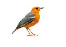Oranje-geleide lijster Royalty-vrije Stock Afbeeldingen