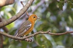 Oranje-geleide lijster Royalty-vrije Stock Afbeelding