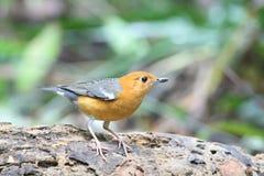 Oranje-geleide lijster op het logboek stock foto's