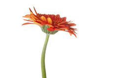 Oranje Gerber Royalty-vrije Stock Foto