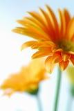 Oranje Gerber stock afbeeldingen