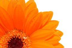 Oranje Gerber in close-up met aterdrops royalty-vrije stock foto's
