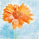 Oranje Gerber Daisy Royalty-vrije Stock Foto's