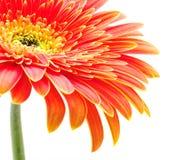 Oranje gerbera royalty-vrije stock fotografie