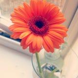 Oranje gerbera stock foto