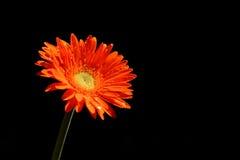 Oranje gerbera Stock Afbeeldingen