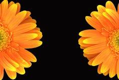 Oranje Gerbera Daisy op Zwarte Achtergrond Royalty-vrije Stock Fotografie