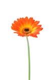Oranje gerbera Gerberajamesonii Stock Foto's