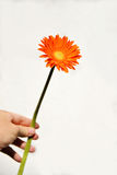 Oranje Gerbera op hand Royalty-vrije Stock Fotografie