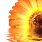 Oranje gerbera in water Royalty-vrije Stock Afbeelding