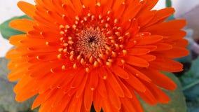 Oranje gerberbloem royalty-vrije stock afbeeldingen
