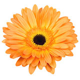 Oranje gerberbloem die op wit wordt geïsoleerde Stock Foto