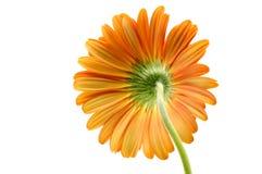 Oranje gerbermadeliefje royalty-vrije stock foto