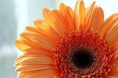 Oranje gerbermadeliefje Stock Afbeeldingen