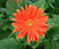 Oranje gerbermadeliefje Stock Foto's