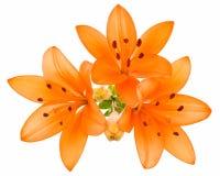 Oranje geïsoleerdeo lelie Royalty-vrije Stock Foto's