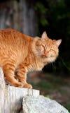 Oranje Gestreepte kat Royalty-vrije Stock Afbeeldingen
