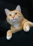 Oranje Gestreepte kat Stock Foto