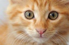 Oranje gestreepte katkatje Royalty-vrije Stock Foto