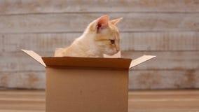 Oranje gestreepte katkatje in kartondoos die rond eruit zien stock footage