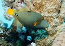 Oranje-gestreepte Triggerfish stock foto