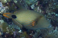 Oranje-gestreepte Triggerfish royalty-vrije stock afbeelding