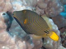 Oranje-gestript triggerfish Royalty-vrije Stock Fotografie