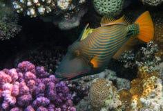 Oranje-gevoerde Triggerfish Royalty-vrije Stock Fotografie