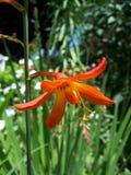Oranje Gladiola Stock Fotografie