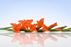 Oranje Glaudiolus Stock Afbeeldingen