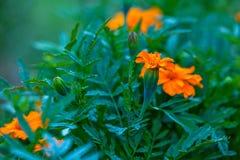Oranje Goudsbloem еagetes met groen onthuld en dicht gebladerte, royalty-vrije stock afbeelding