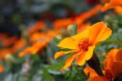 Oranje goudsbloem - Tagetes Lucida Royalty-vrije Stock Afbeelding