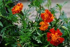 Oranje goudsbloemen royalty-vrije stock afbeeldingen