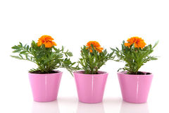 Oranje Goudsbloemen Stock Foto's