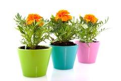 Oranje Goudsbloemen Stock Foto