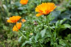 Oranje goudsbloemen in de tuin met bij Stock Foto's