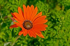 Oranje Gousblom-madeliefje wildflower stock afbeelding