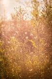 Oranje gras en bloemen Zonsondergang, August Walking in de weide stock foto's