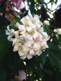 Oranje groene jusmine witte tuin Stock Fotografie
