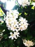 Oranje groene jusmine witte tuin Stock Foto's