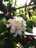 Oranje groene jusmine witte tuin Stock Foto