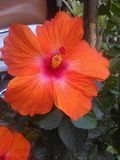 Oranje grote lichte het bloemblaadjehibiscus van Nice royalty-vrije stock foto's