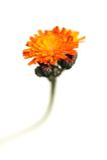 Oranje Hawkweed. Pilosellaaurantiaca Stock Afbeeldingen